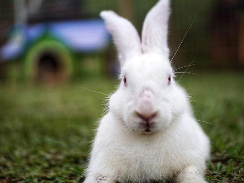 7 Jenis Kelinci Hias Serta Cara Merawatnya