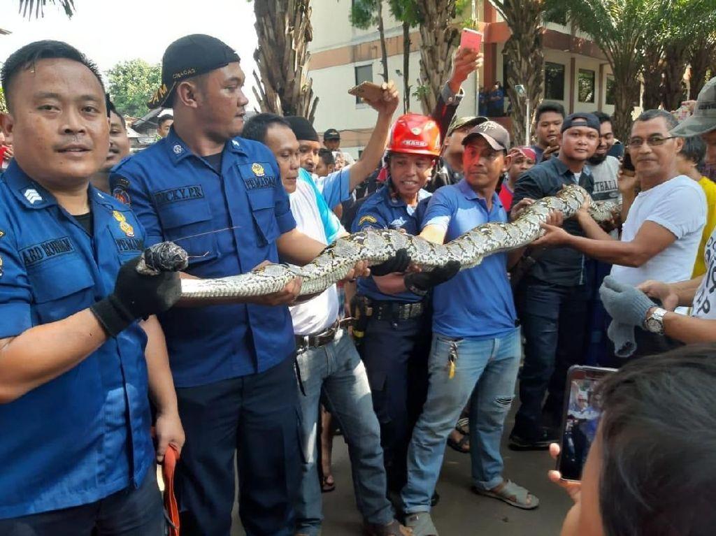 Ular Sanca 4 Meter Dievakuasi dari Kompleks Perumahan di Pasar Rebo
