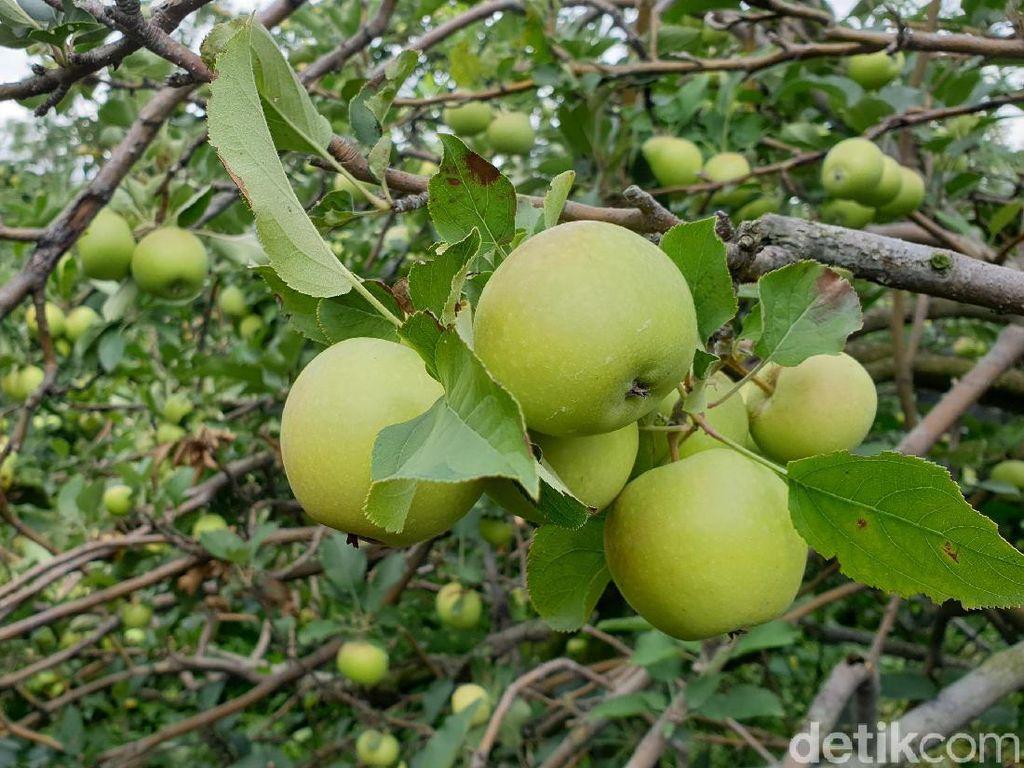 Ini Pilihan Agrowisata Petik Apel Tradisional di Batu
