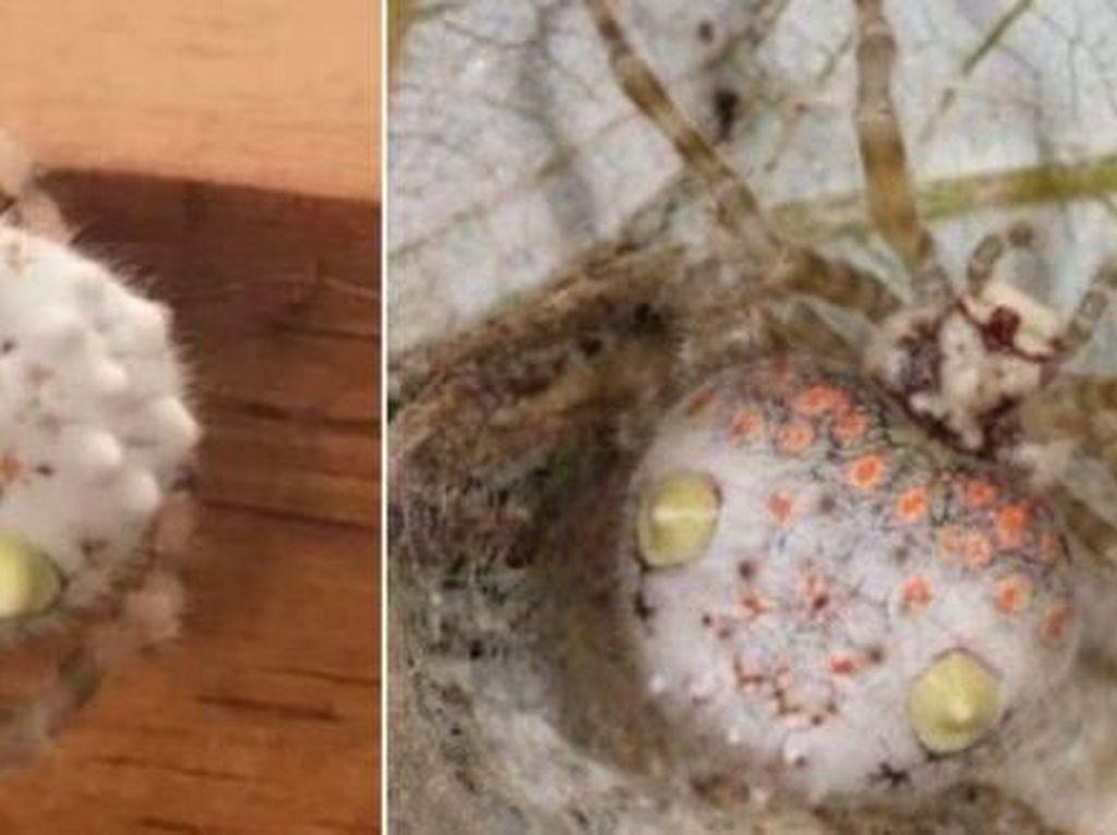 Pria Ini Temukan Laba-laba Unik yang Mirip Seperti Sushi