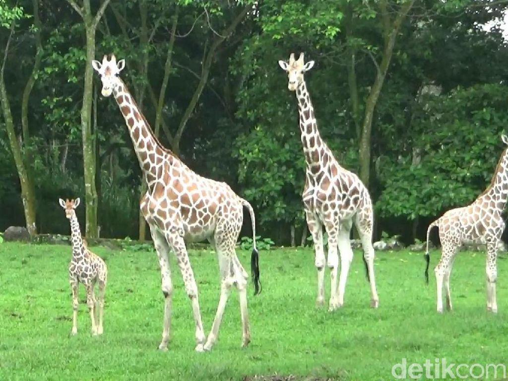 Foto: Azzanti, Bayi Jerapah Lucu di Taman Safari Prigen