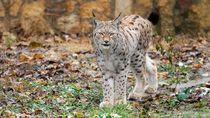 Potret Kucing Lynx Balkan yang Paling Langka dan Pelindungnya