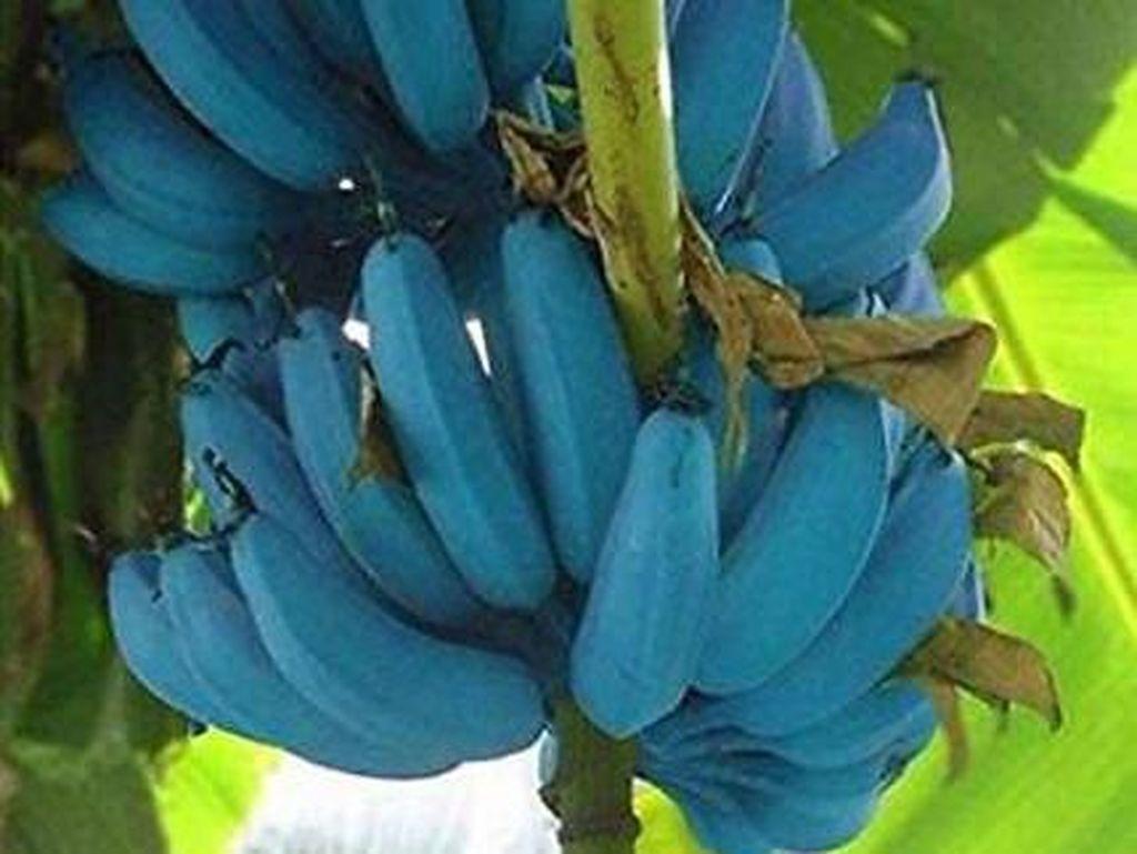 Blue Java Banana, Pisang Unik Berkulit Biru yang Punya Rasa Seperti Es Krim