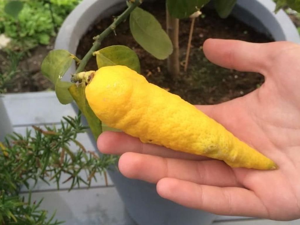 Bentuknya Aneh! Lemon Mirip Wortel hingga Telur Seperti Es krim