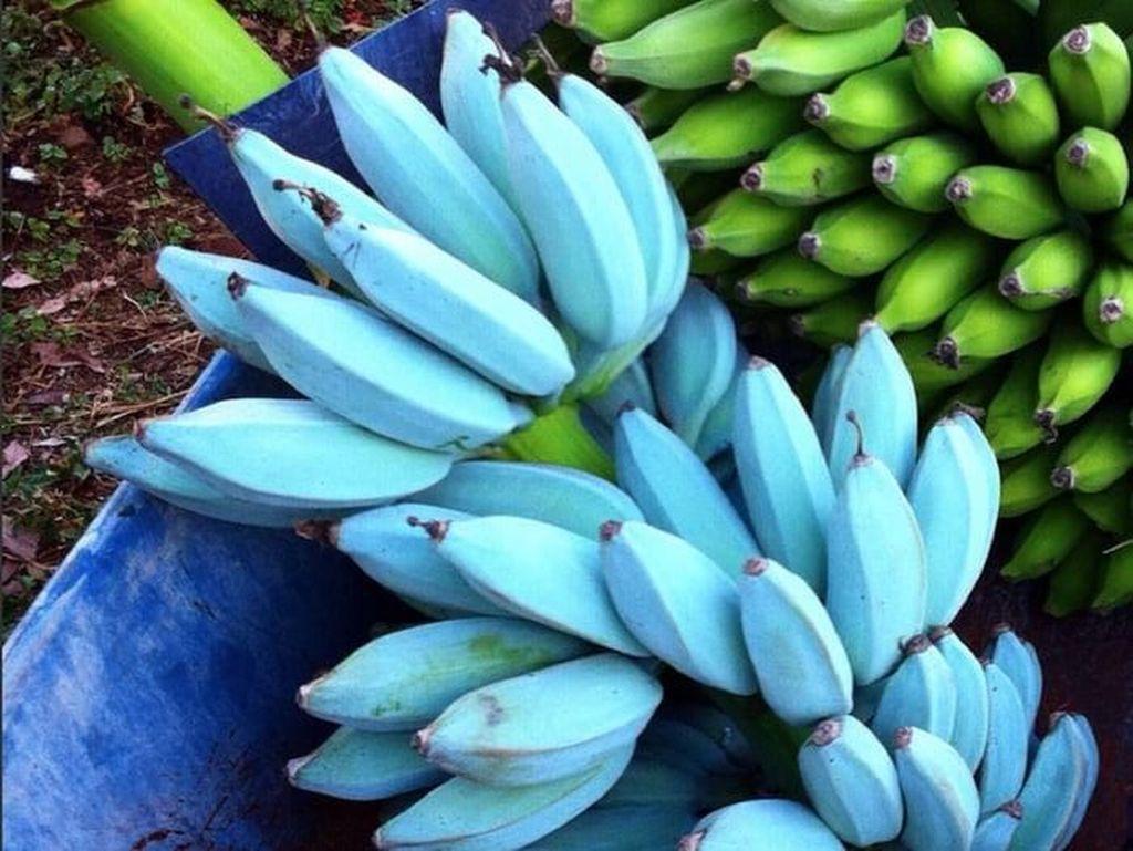 5 Fakta Unik Pisang Biru, Buah Ajaib yang Cantik dan Rasanya Mirip Es Krim