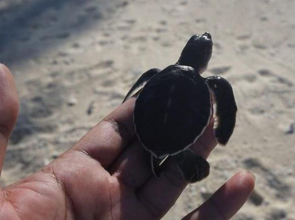 Melihat dari Dekat Konservasi Penyu di Pulau Pahat, Anambas
