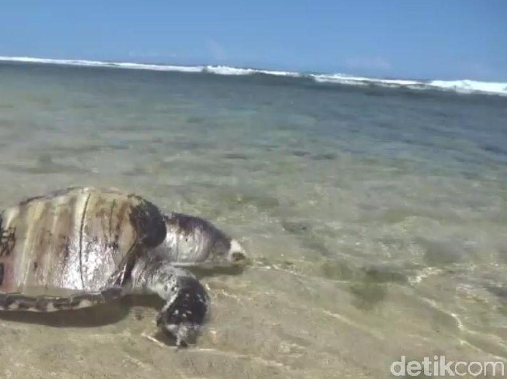 Bangkai Penyu Langka Ditemukan di Pantai Gunungkidul