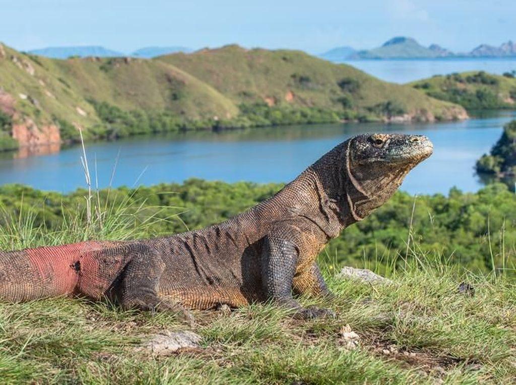 Terkait Isu Penutupan Pulau Komodo, KLHK Tunggu Tim Terpadu