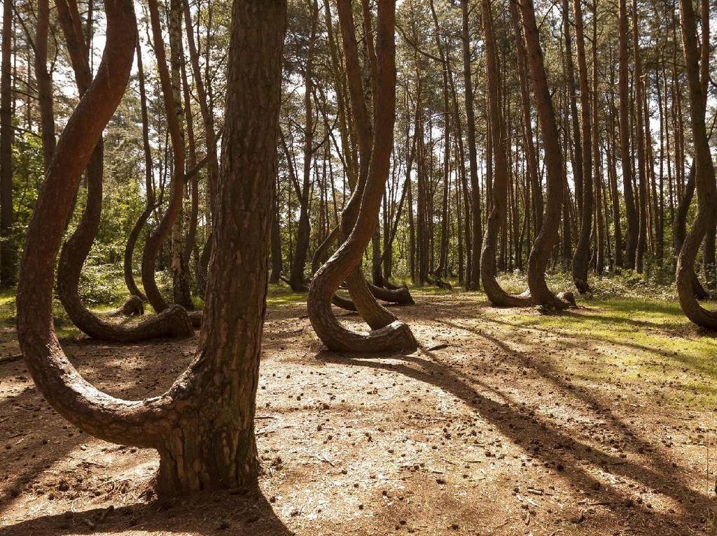 Foto: Hutan Pinus Bengkok yang Misterius
