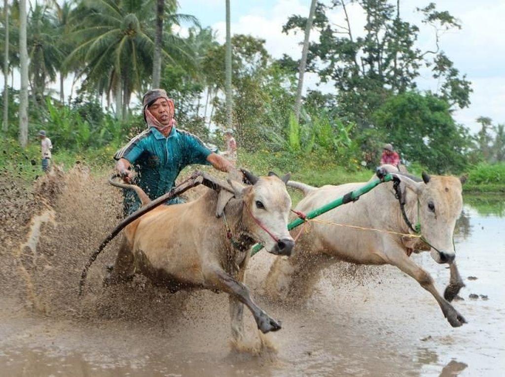 Pacu Jawi, Event Wajib Pecinta Fotografi di Tanah Datar