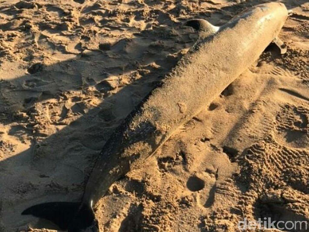 Seekor Lumba-lumba Ditemukan Mati di Pantai Mengiat Bali