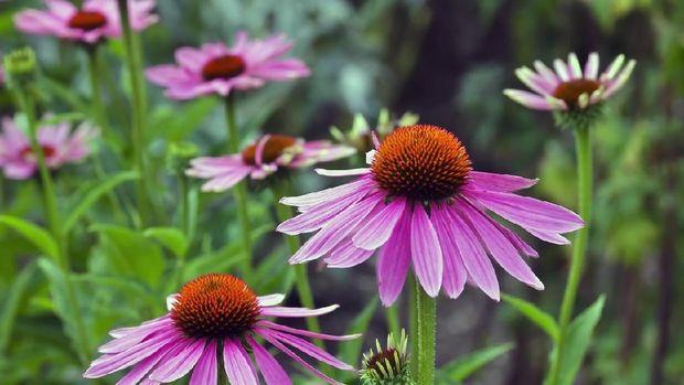 Echinacea, Obat Alami untuk Tingkatkan Sistem Kekebalan Tubuh