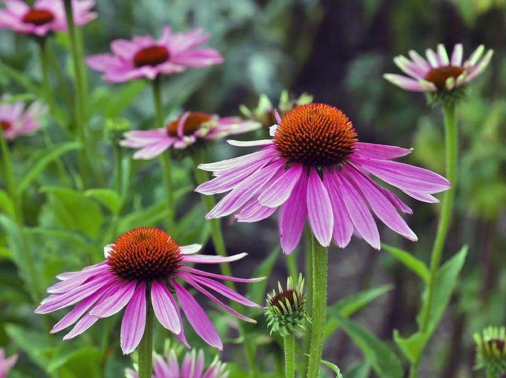 5 Manfaat Bunga Echinacea untuk Kesehatan Tubuh