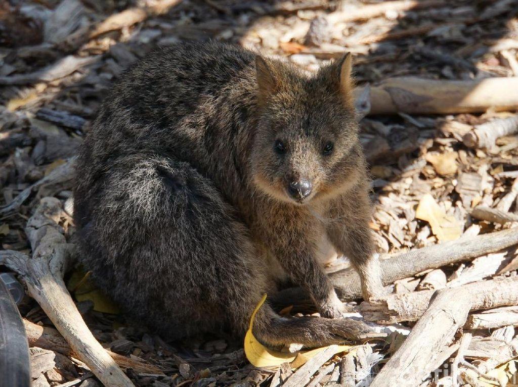 Rottnest Island, Tempat Wisata di Australia Barat yang Ajaib