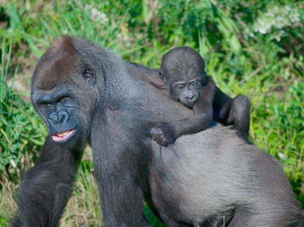 4 Gorila Gunung Mati Tersambar Petir