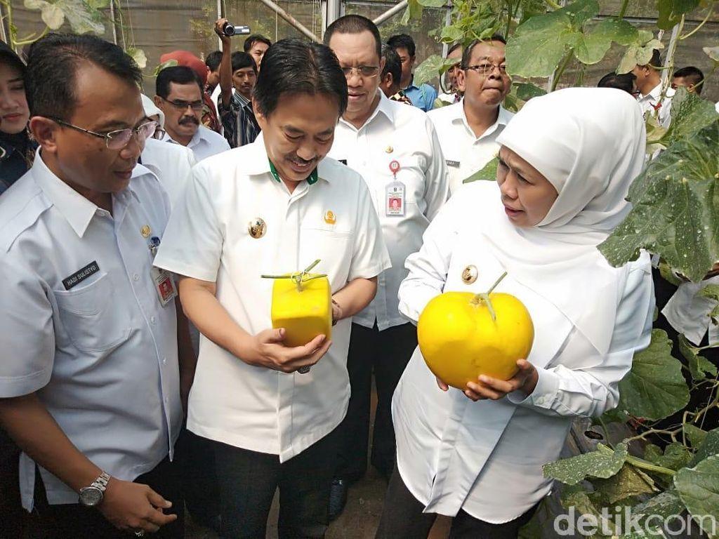 Gubernur Khofifah Panen Melon Kotak dan Berbentuk Hati di Sidoarjo