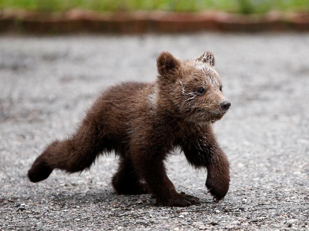Beruang Liar Masuk Permukiman Warga di Dumai