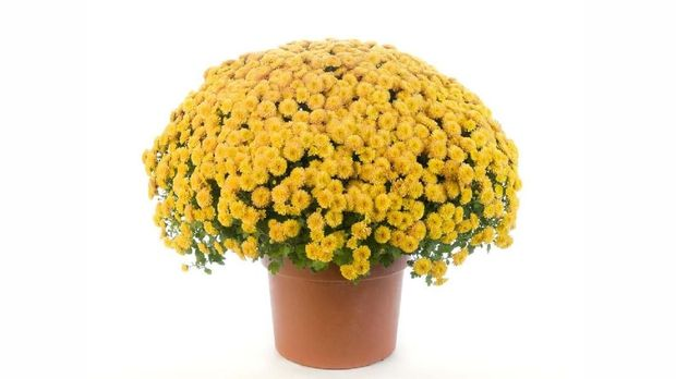 Yellow chrysanthemum in a terracotta pot isolated on a white background