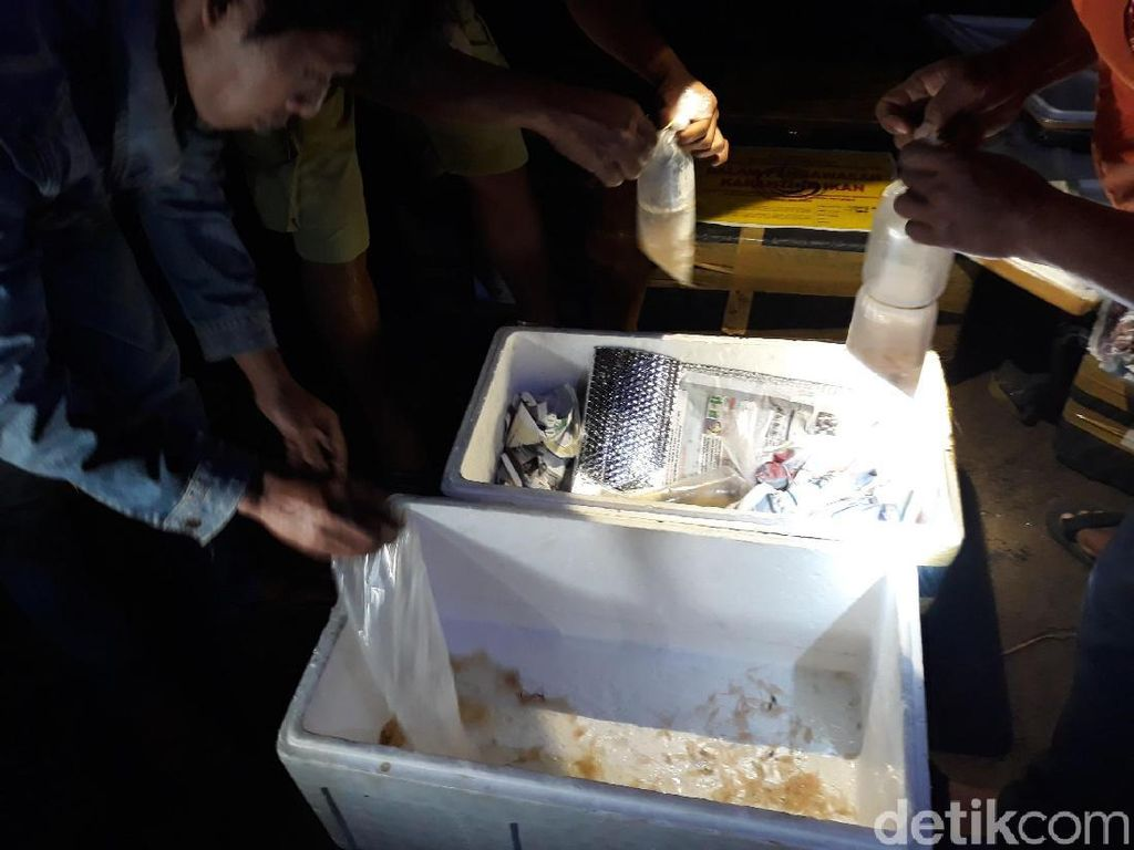 Susi Ungkap Penyelundupan Benih Lobster: Rp 115 Juta Sekali Kirim