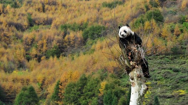 This picture taken on October 30, 2012 shows a giant panda climbing a tree in its new home in the Wolong National Nature Reserve in Wolong, southwest China's Sichuan province. The first 18 giant pandas returned to their new home in the newly reconstructed China Giant Panda Protection and Research Center Base after it was damaged in the 2008 Sichuan earthquake. CHINA OUT AFP PHOTO (Photo by STR / AFP)