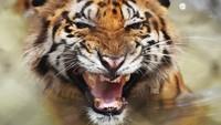 Nahas Nasib Warga Diterkam Harimau Kala Mendulang Emas