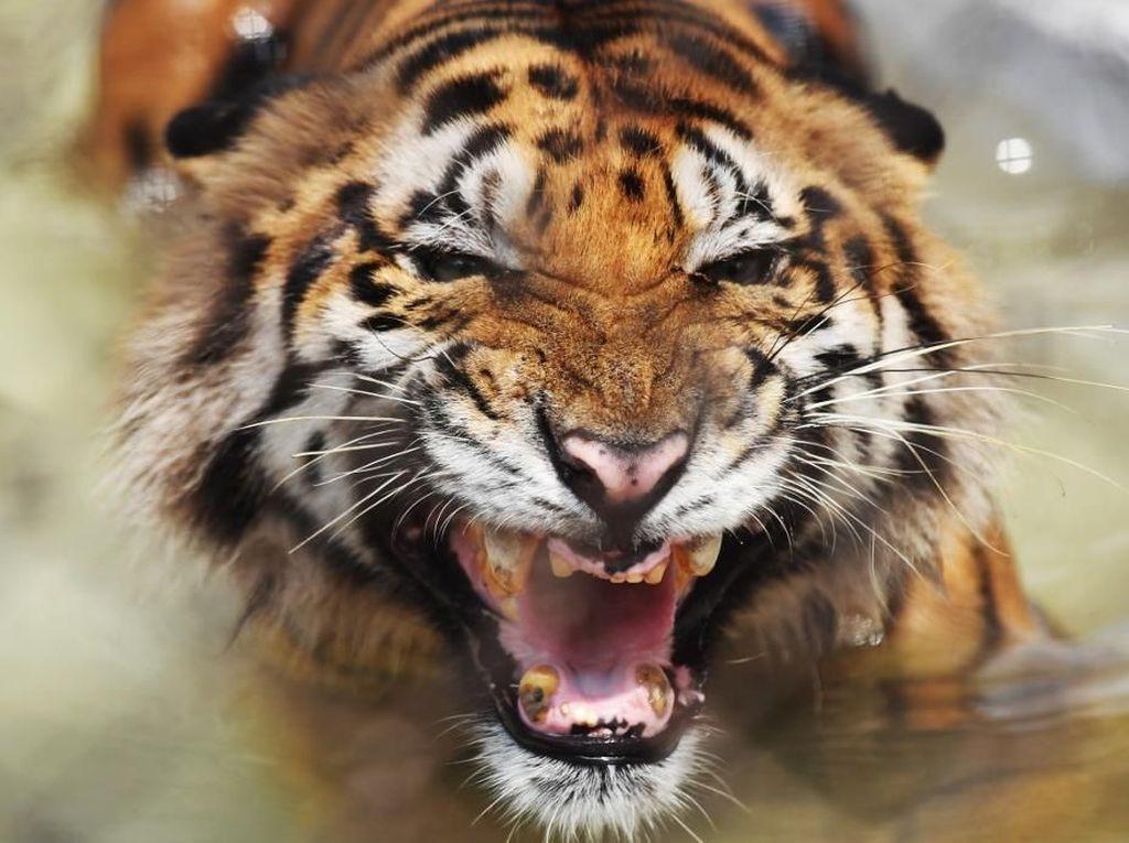 Polisi Bangladesh Tembak Mati 4 Pemburu Harimau Benggala
