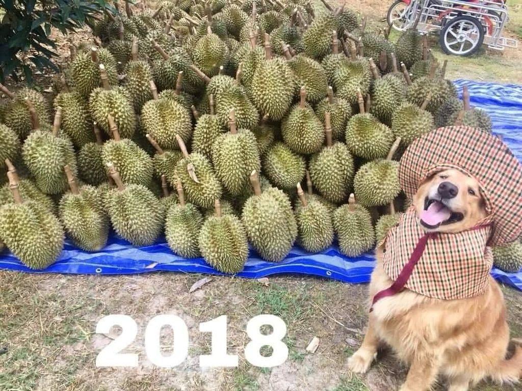 Kenalan Sama Jubjib, Pemanen Durian Paling Cute Sedunia
