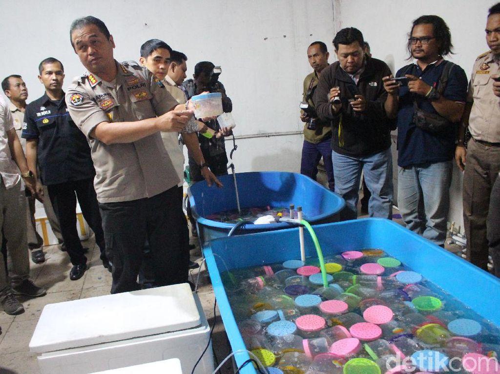 Penyelundupan Baby Lobster Senilai Rp 5,4 Miliar Digagalkan