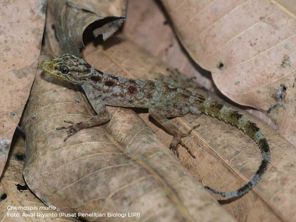 LIPI Identifikasi Spesies Cecak dan Keong Baru di Pulau Jawa