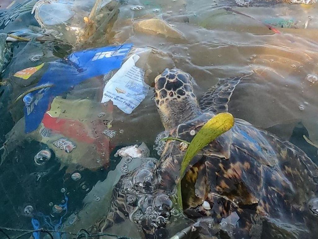 Viral di Instagram, Penyu Terjebak Sampah Ditolong Manusia di Bali