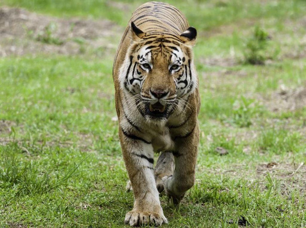 Harimau Benggala Tambah Koleksi Satwa Langka di Bintan Resorts Lagoi