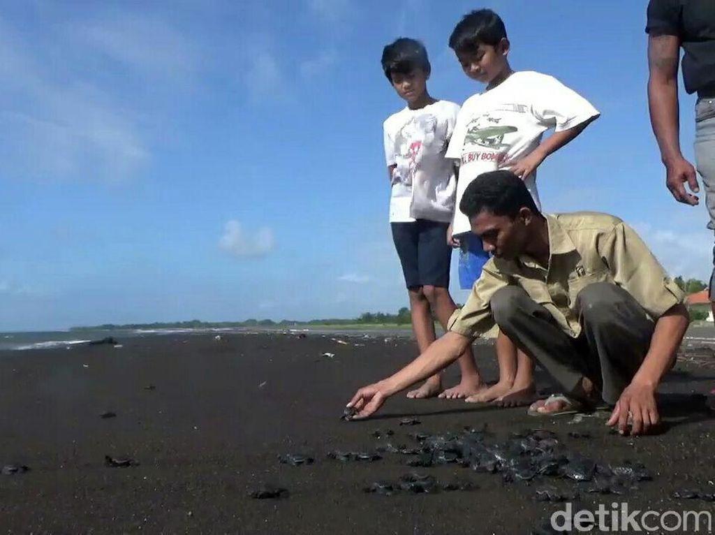 Pelepasan Ratusan Tukik di Pantai Marina Boom Banyuwangi