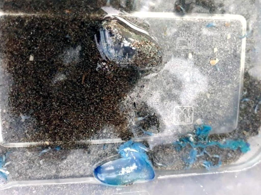 Penampakan Ubur-ubur yang Sengat Puluhan Wisatawan Palabuhanratu