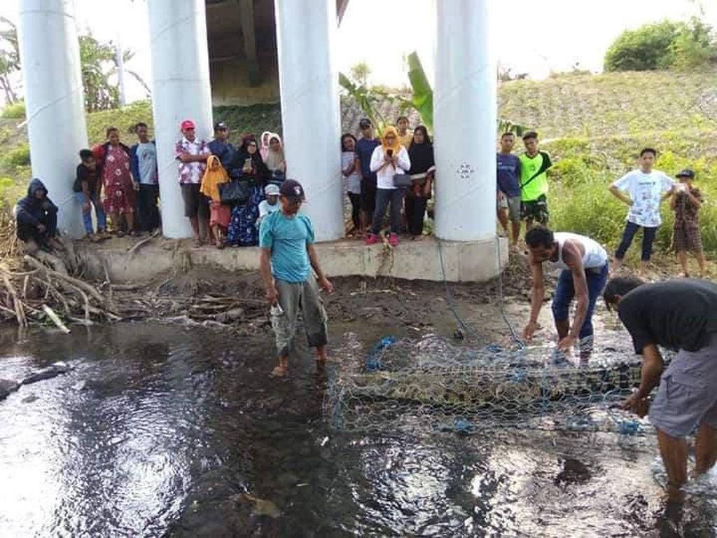 BKSDA Evakuasi Buaya 3 Meter yang Ditangkap Warga di Sumbawa