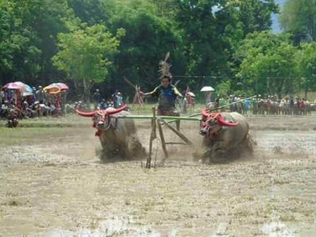 Mengenal Barapan Kebo, Tradisi Unik di Sumbawa