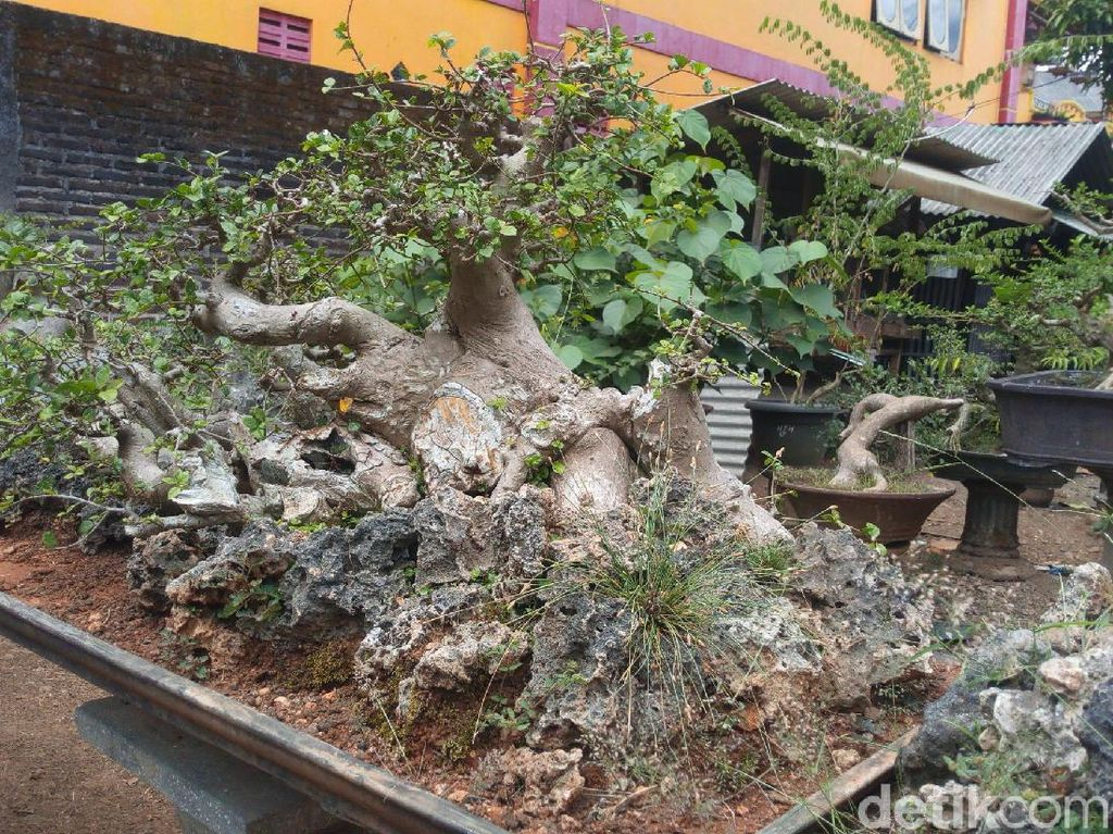 Foto: Tempat Wisata Untuk Kamu Penggemar Bonsai