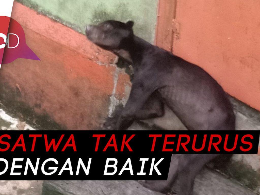 Viral! Beruang Madu di Bonbin Singkawang Kurus Kering