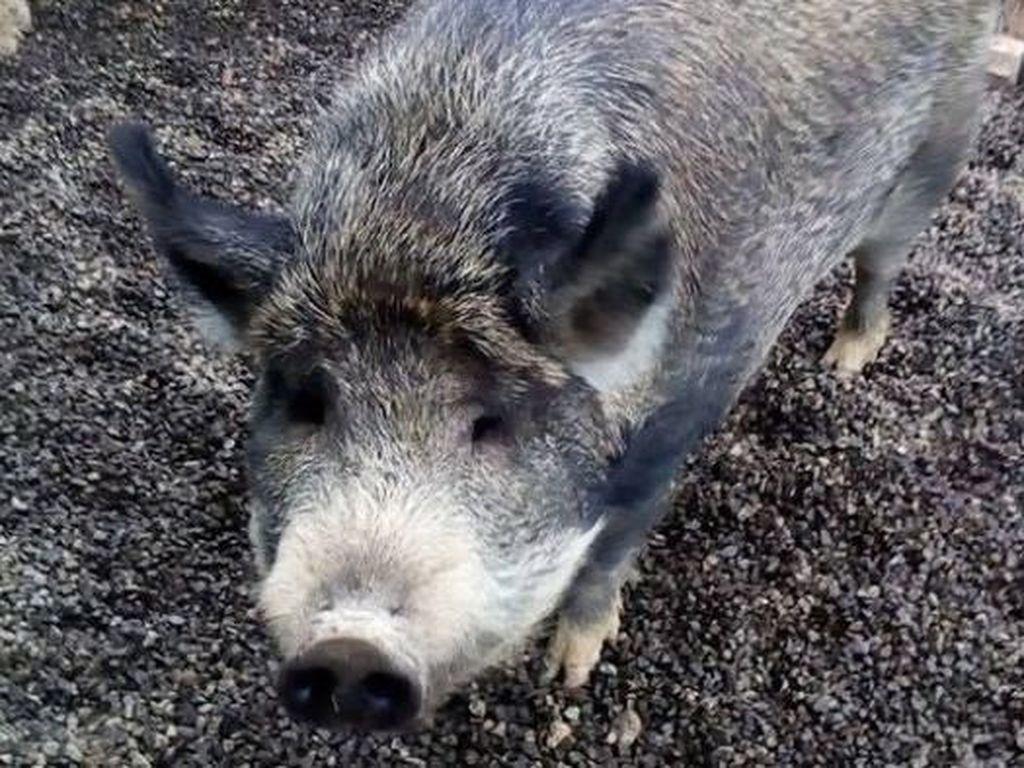 Babi Seberat 300 Kg Ini Dilarang Untuk Berjalan di Tanah Pemerintah