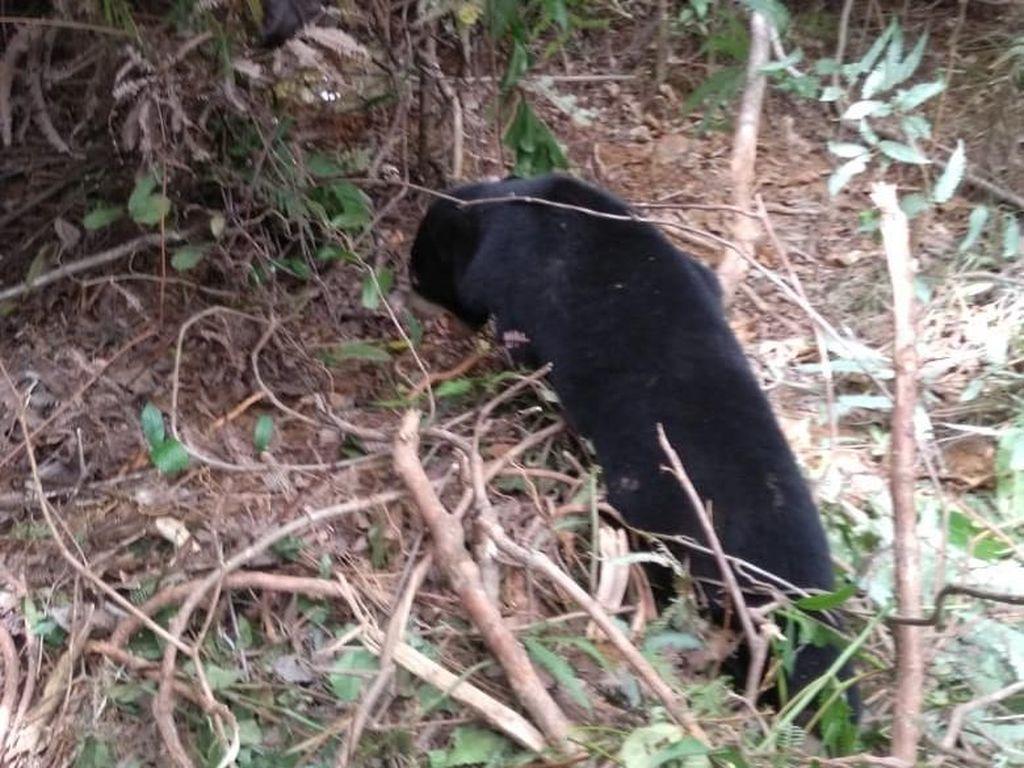 2 Ekor Beruang Terkena Jerat Babi di Aceh