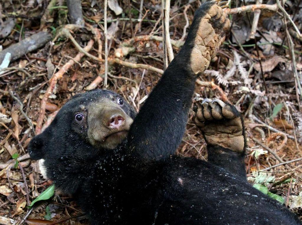 2 Kambing Kurban di Sumbar Mati Dimangsa Beruang Madu