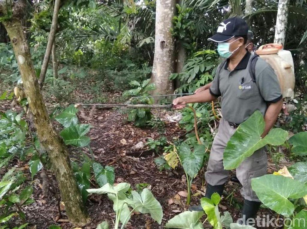 Dinas Pertanian Banyuwangi Basmi Ulat Bulu yang Serang 200 Rumah