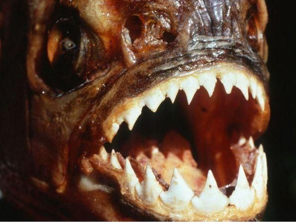 12 Fakta tentang Ikan Piranha, Benarkah Bisa Makan Manusia?
