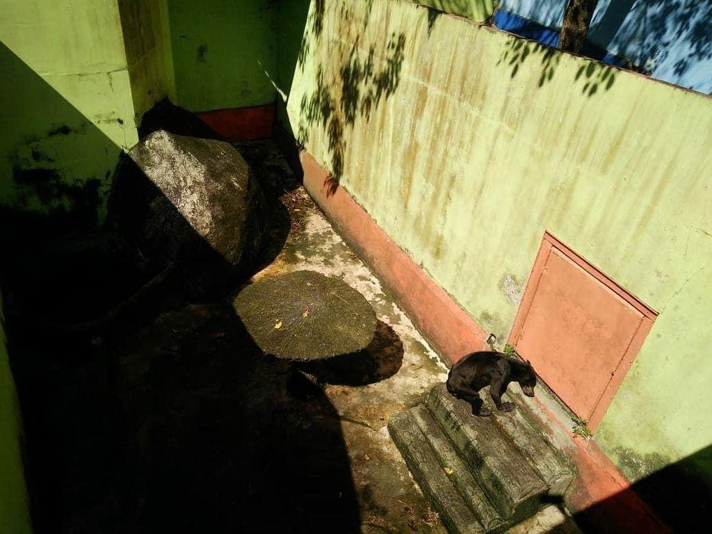 Viral Beruang Madu di Singkawang Kurus Kering, BKSDA Turun Tangan