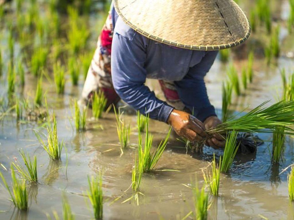 Kebiasaan Makan Nasi Putih Picu Kerusakan Lingkungan, Ini Sebabnya