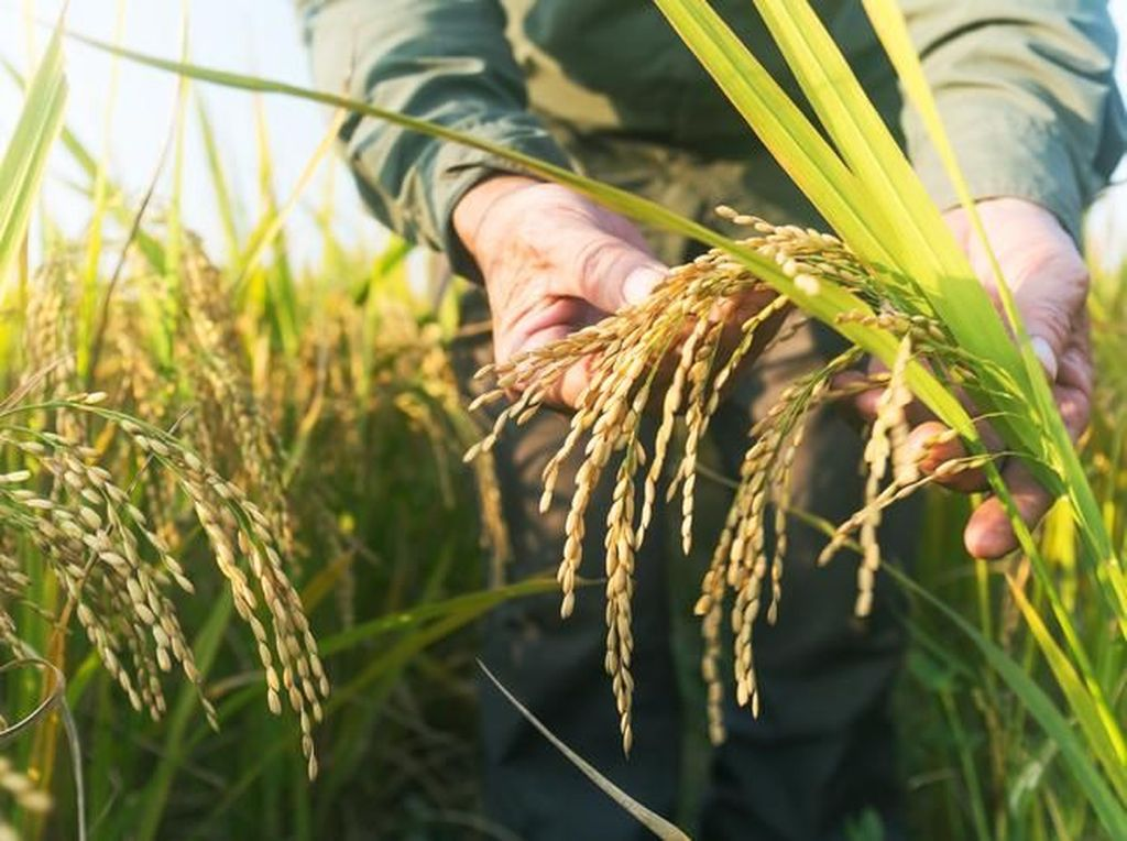 Mulai Ditanam 5.000 Tahun Lalu, Beras Kini Jadi Makanan Pokok Dunia