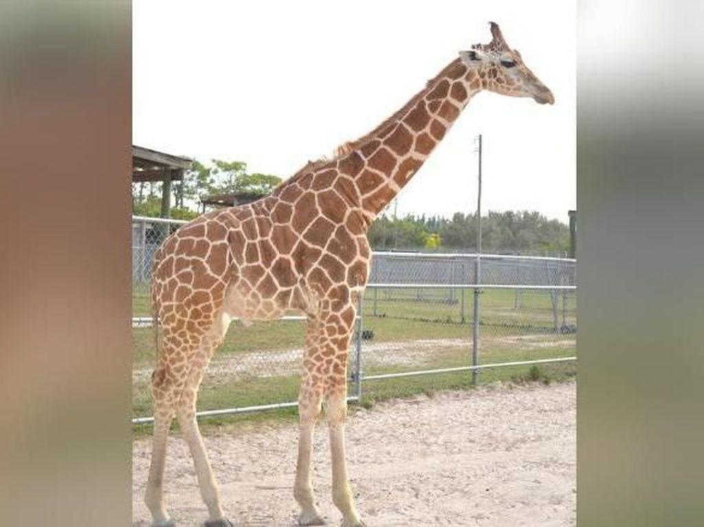 Kasihan! 2 Jerapah di Taman Safari AS Mati Tersambar Petir