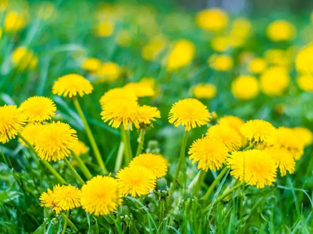 Tampilannya Cantik, 10 Bunga dan Tumbuhan Cantik Ini Bisa Dimakan