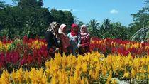 Satu Lagi Taman Bunga Cantik & Instagramable di Magelang