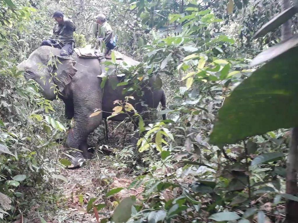 Konflik Antar Gajah Jadi Kendala Penggiringan Gajah Liar di Riau