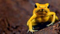 Foto: Katak Emas yang Mampu Membunuh Manusia
